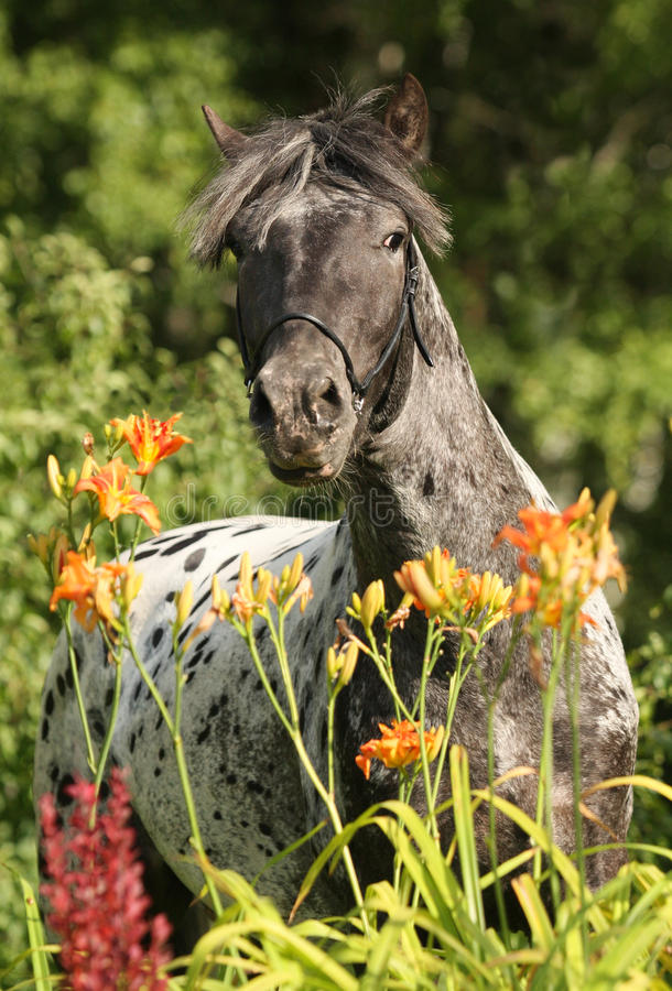 Download Appaloosa horse stock image. Image of meadow, chestnut - 15640249