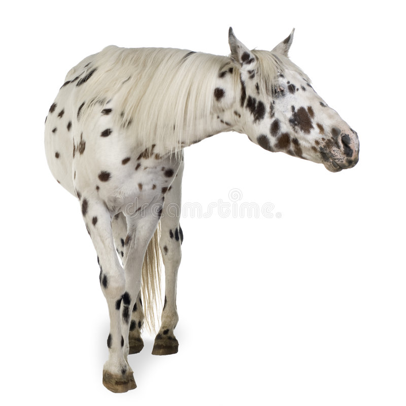 Download Appaloosa horse stock image. Image of tail, domestic, gray - 3914377
