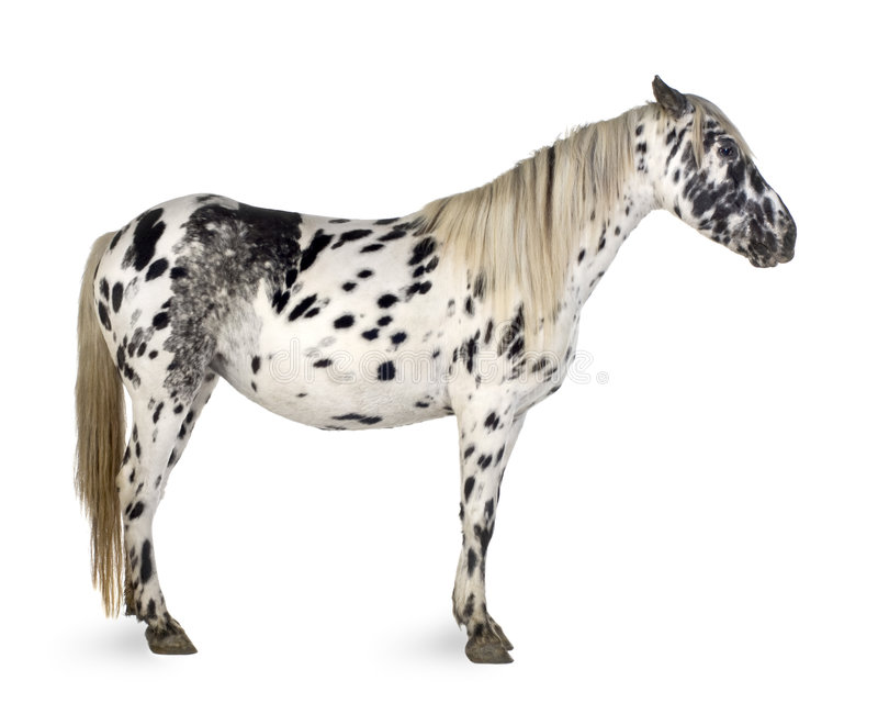 Appaloosa horse. In front of a white background royalty free stock photography