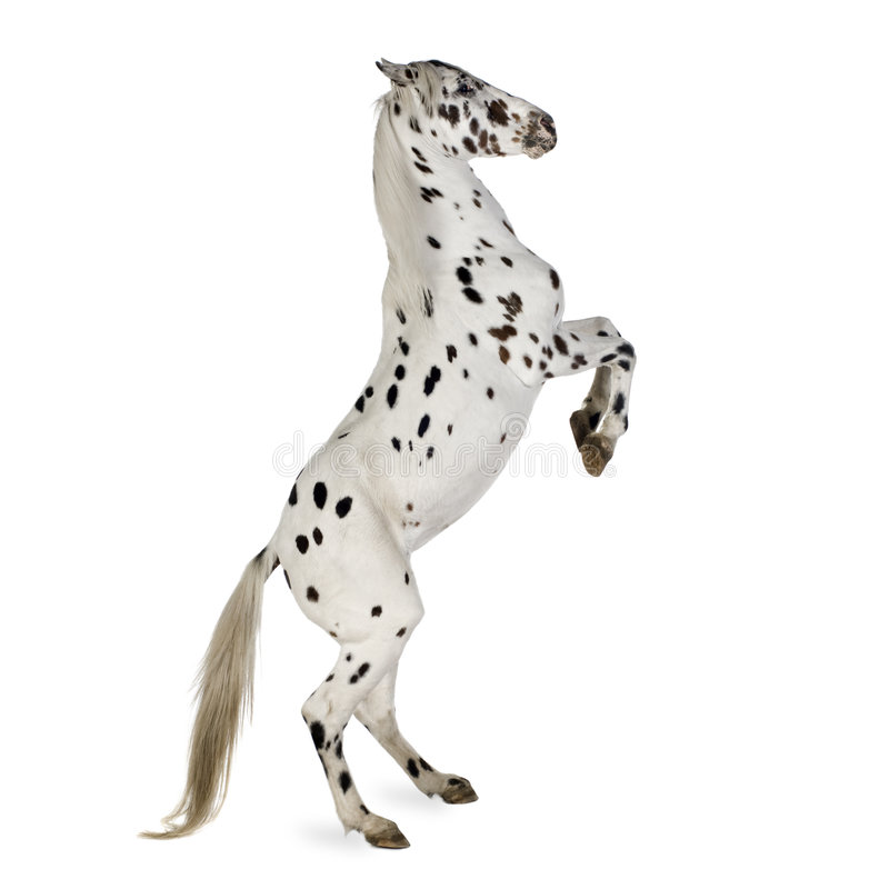 Appaloosa horse. In front of a white background royalty free stock image