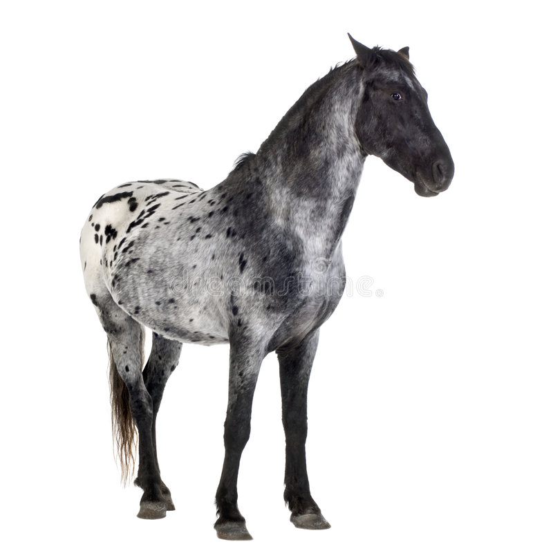Download Appaloosa horse stock image. Image of animal, equidae - 3914517
