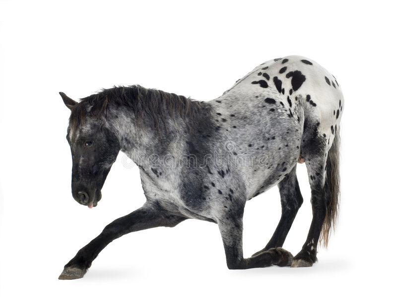 Download Appaloosa horse stock image. Image of livestock, acting - 3914533