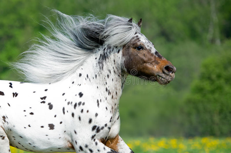 Appaloosa horse runs gallop on the meadow in summer time royalty free stock photos