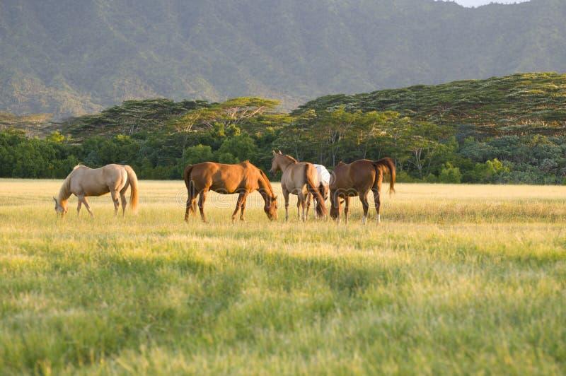 Appaloosa horses royalty free stock photography