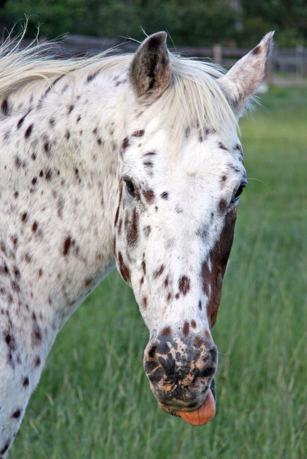 appaloosa koń zdjęcia royalty free
