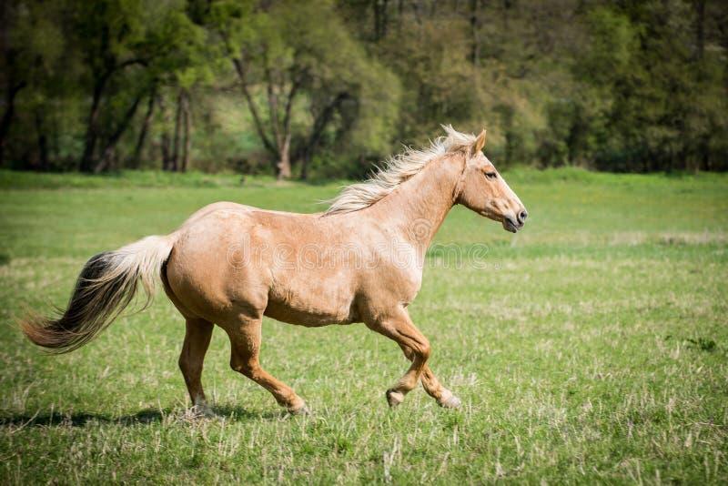 Appaloosa koń na zielonej łące fotografia stock
