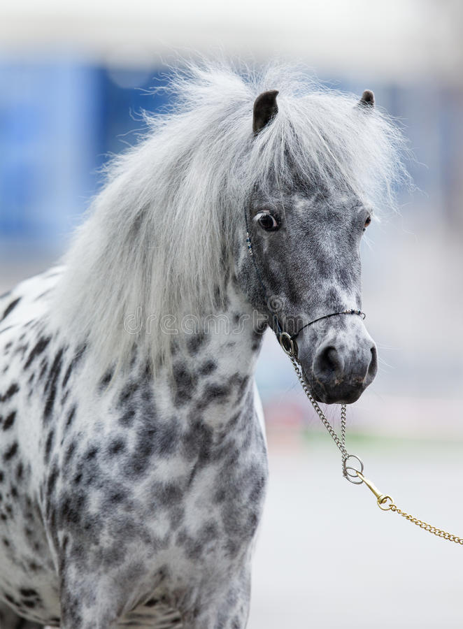 appaloosa konia portret fotografia stock