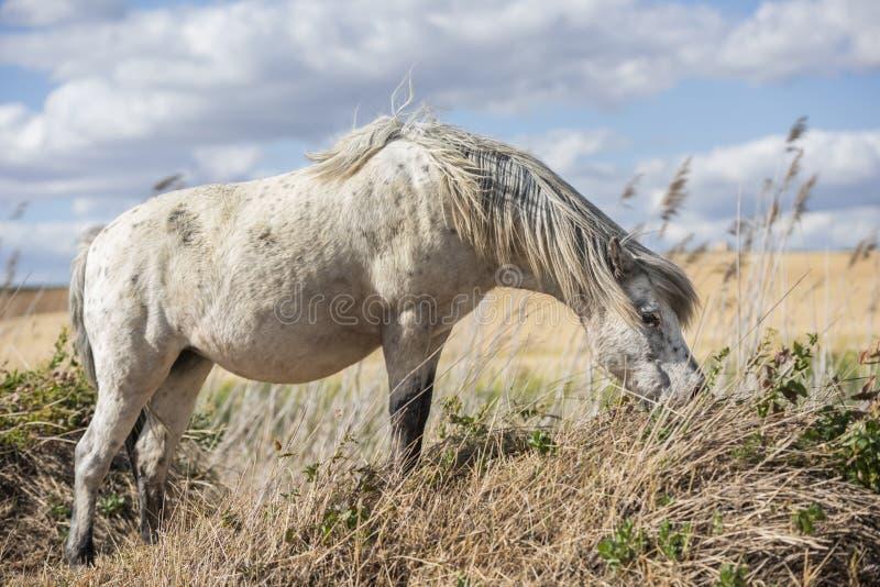 Appaloosa konika łasowania końska trawa w polu niebo, chmury niebieski zdjęcie stock