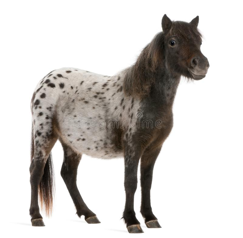 Appaloosa Miniature horse, Equus caballus, 2 years old royalty free stock photos