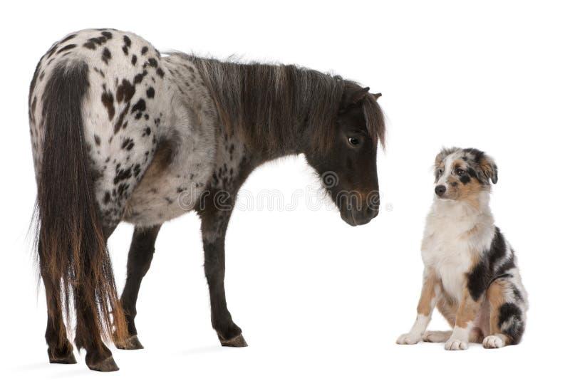 Appaloosa Miniatuurpaard, Equus-caballus, 2 jaar oud, en Aus royalty-vrije stock afbeeldingen