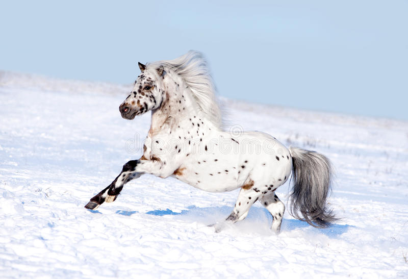 Appaloosa pony runs free through the winter field stock images