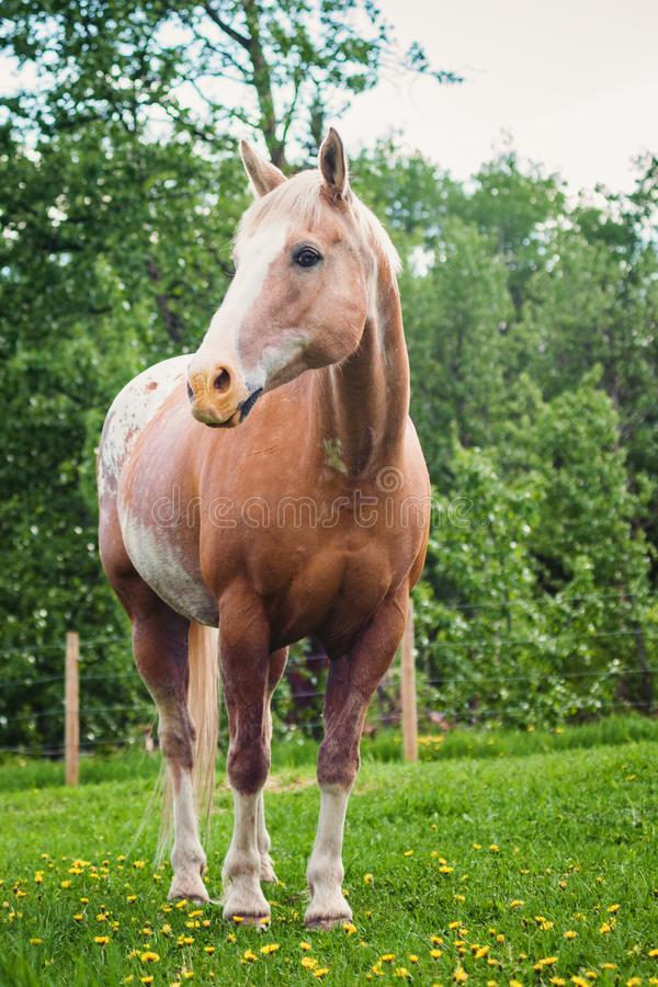 Appaloosa Stallion in Pasture. An appaloosa stallion standing frontally in a green pasture with dandelion flowers royalty free stock photos