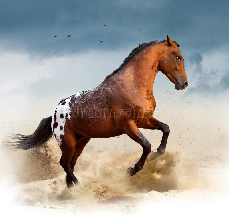 Appaloosa wild horse in desert royalty free stock photography