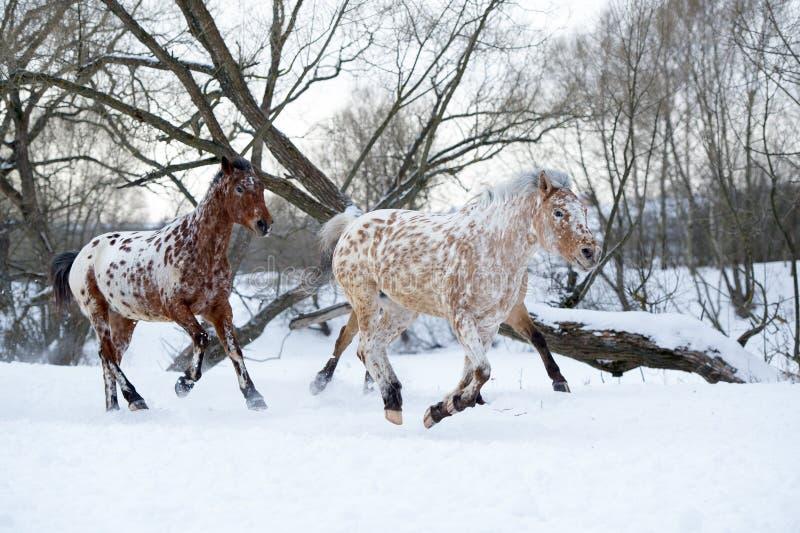 Appaloosapferde, die Galopp im Winterwald laufen lassen stockbilder
