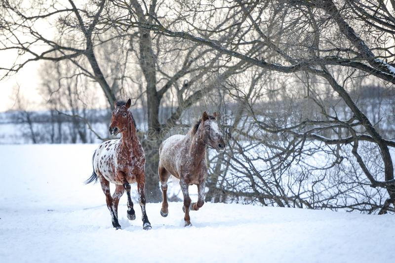 Appaloosapferde, die Galopp im Winterwald laufen lassen lizenzfreie stockbilder
