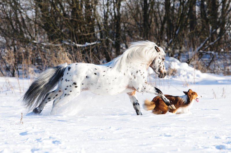 Appaloosaponny- och hundkörningar galopperar i vinter royaltyfri fotografi