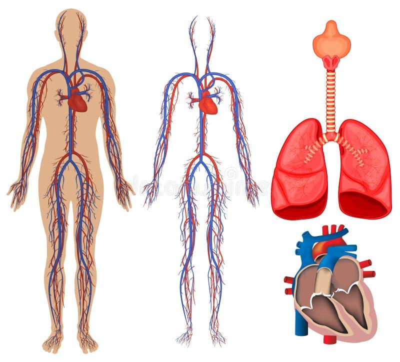 Apparato circolatorio nel corpo umano illustrazione di stock