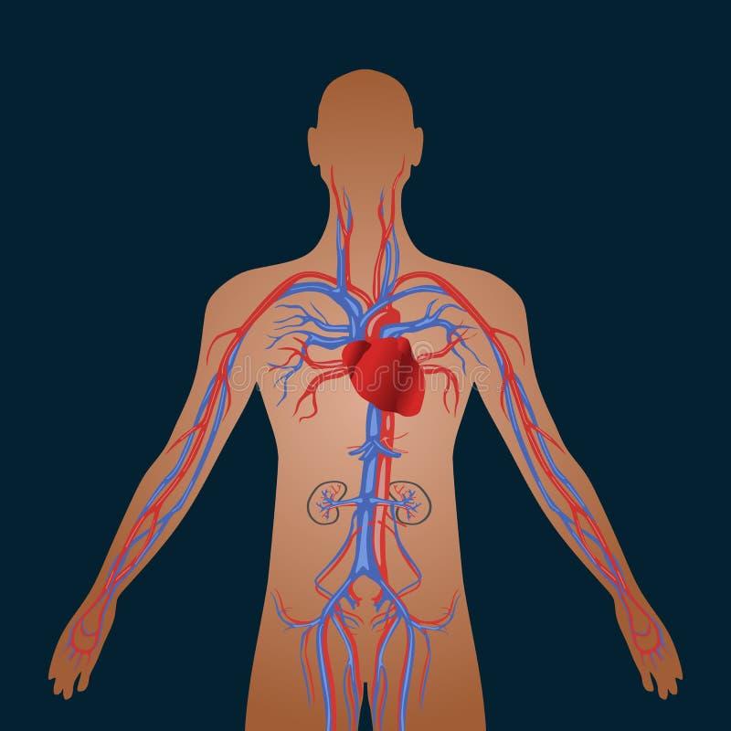 Apparato circolatorio umano di circolazione sanguigna cardiovascolare royalty illustrazione gratis