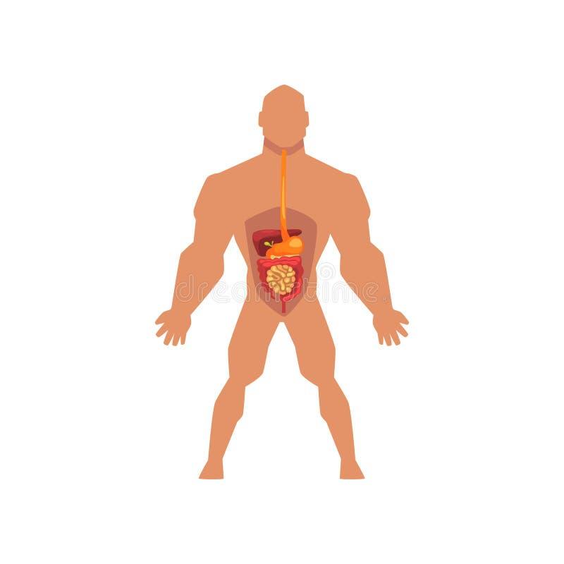 Apparato digerente biologico umano, anatomia dell'illustrazione di vettore del corpo umano su un fondo bianco illustrazione di stock