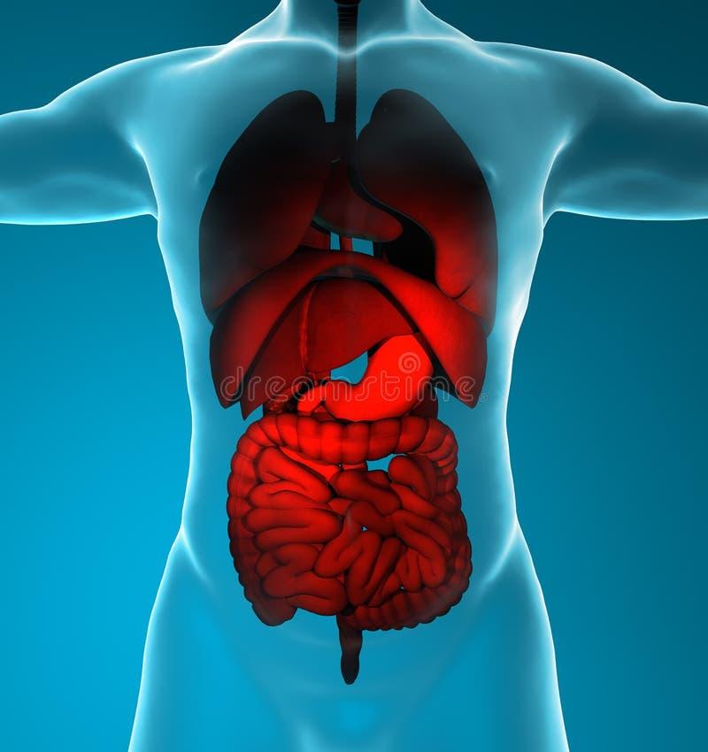 Apparato respiratorio digestivo e maschio illustrazione di stock