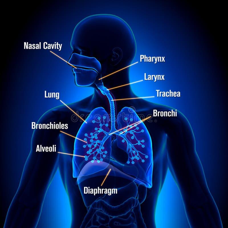 Apparato respiratorio - vista di anatomia dei polmoni illustrazione vettoriale