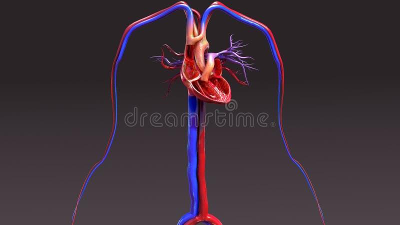 Appareil circulatoire avec le coeur d'intersection illustration de vecteur