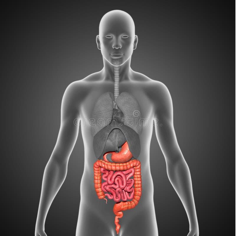Appareil digestif illustration de vecteur