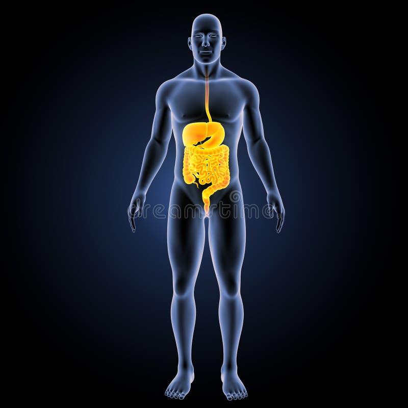 Appareil digestif avec la vue antérieure de corps illustration stock