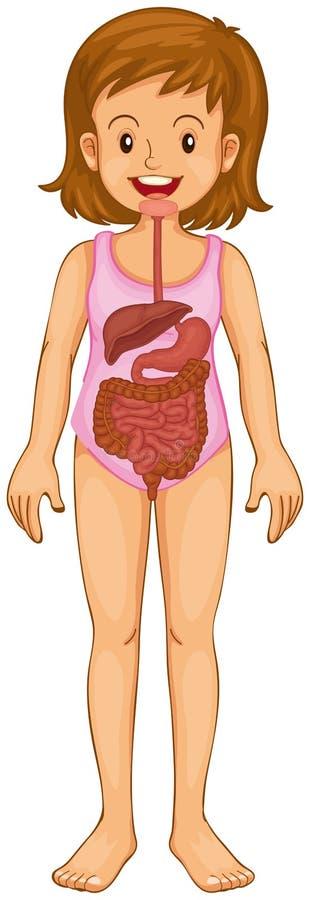 Appareil digestif dans l'humain illustration stock