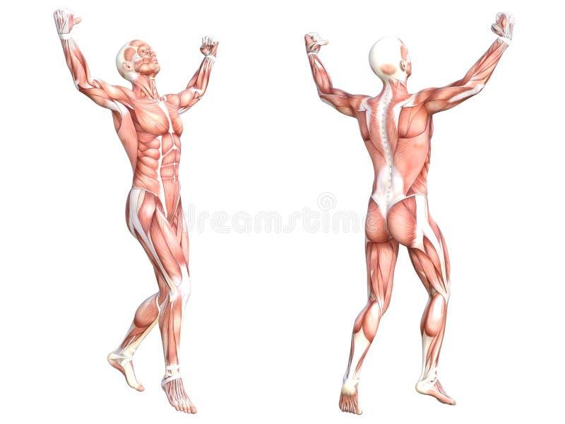 Appareil musculaire sans peau sain de corps humain d'anatomie illustration libre de droits
