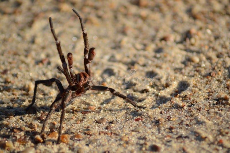 Appareil-photo de attaque d'araignée images stock