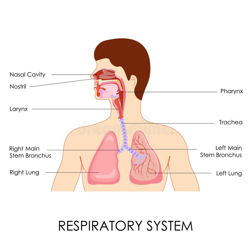 Appareil respiratoire illustration stock
