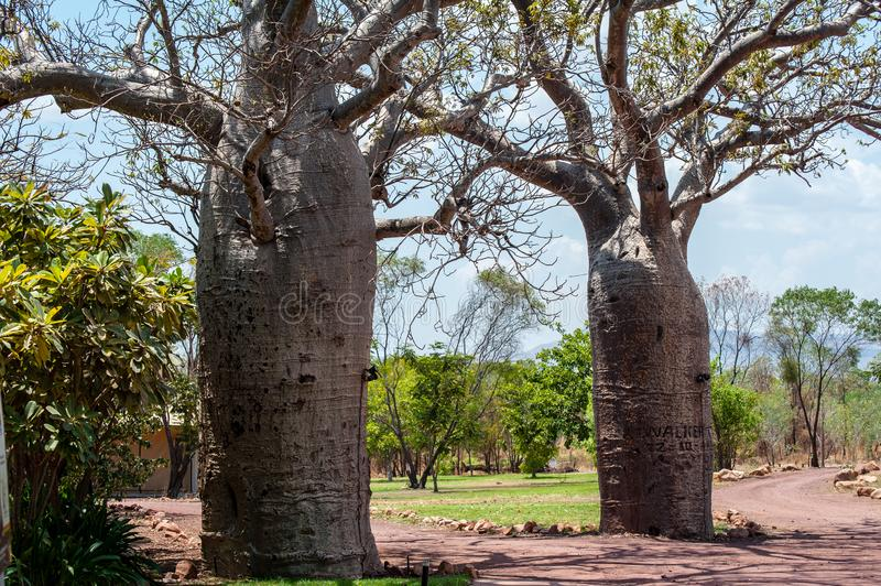 Appareillez des arbres de boab dans un jardin image libre de droits