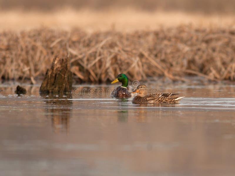 Appareillez des canards sur le Mississippi supérieur au printemps photos libres de droits
