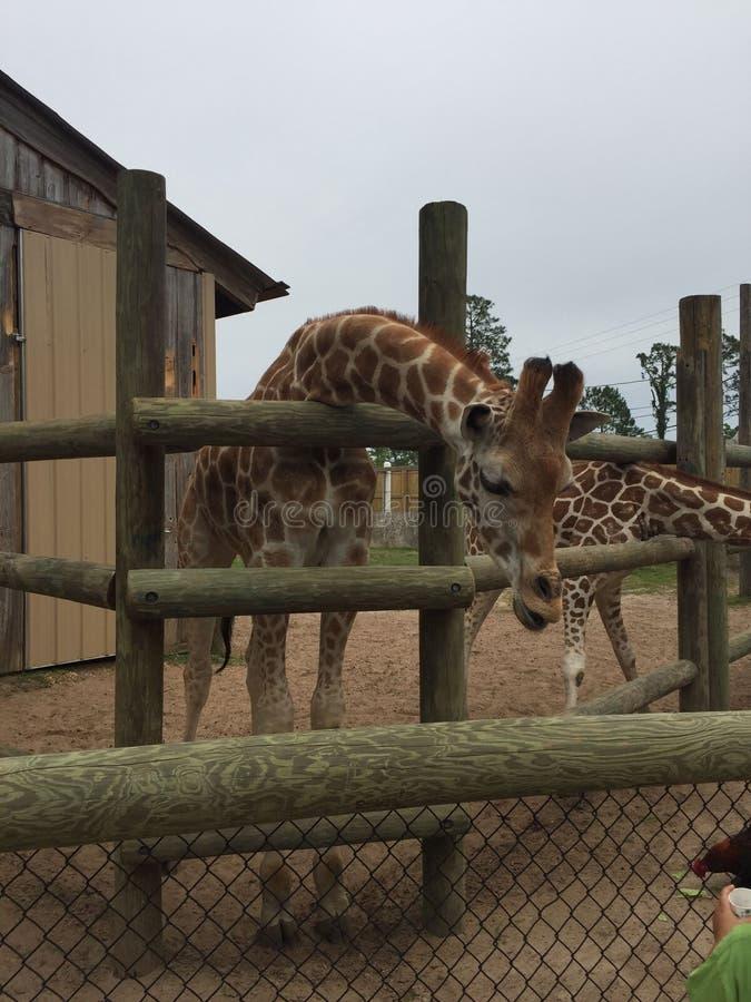 Appareillez des girafes dans un stylo en bois étant alimenté la laitue avec la tête approchant la grande nature de caméra tirée a images libres de droits