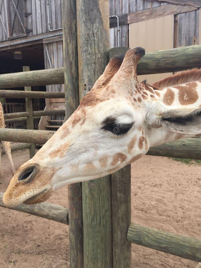 Appareillez des girafes dans un stylo en bois ?tant aliment? la laitue avec la t?te approchant la grande nature de cam?ra tir?e a photo libre de droits
