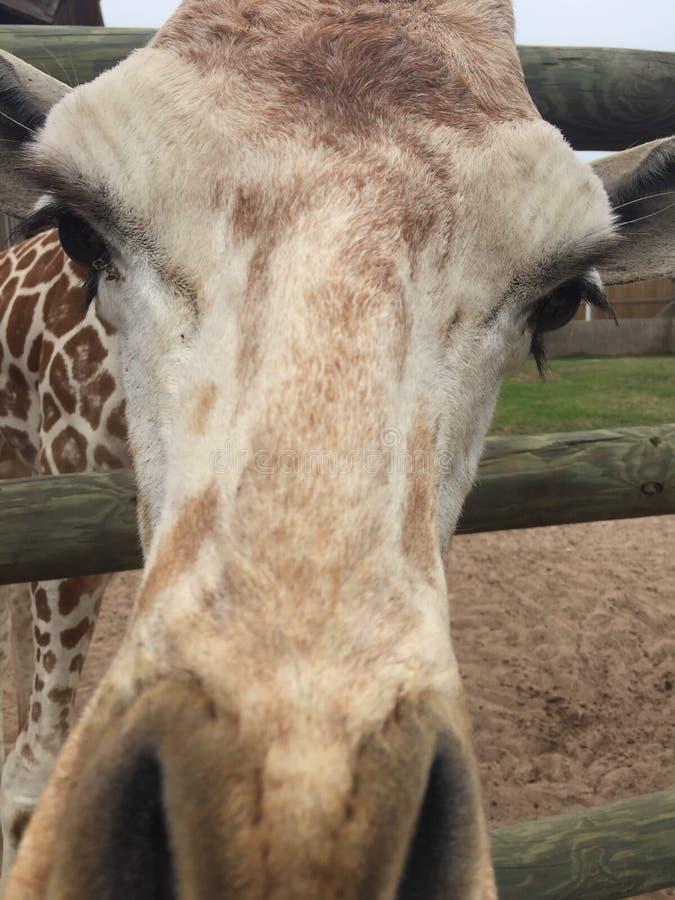 Appareillez des girafes dans un stylo en bois ?tant aliment? la laitue avec la t?te approchant la grande nature de cam?ra tir?e a images libres de droits