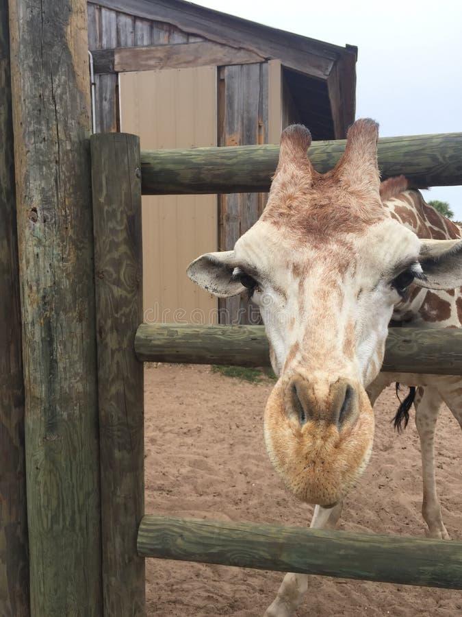 Appareillez des girafes dans un stylo en bois ?tant aliment? la laitue avec la t?te approchant la grande nature de cam?ra tir?e a photos stock
