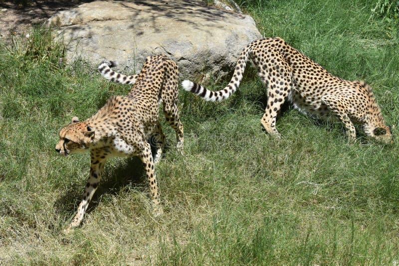 Appareillez des guépards égrappant dans un secteur herbeux un jour chaud image libre de droits
