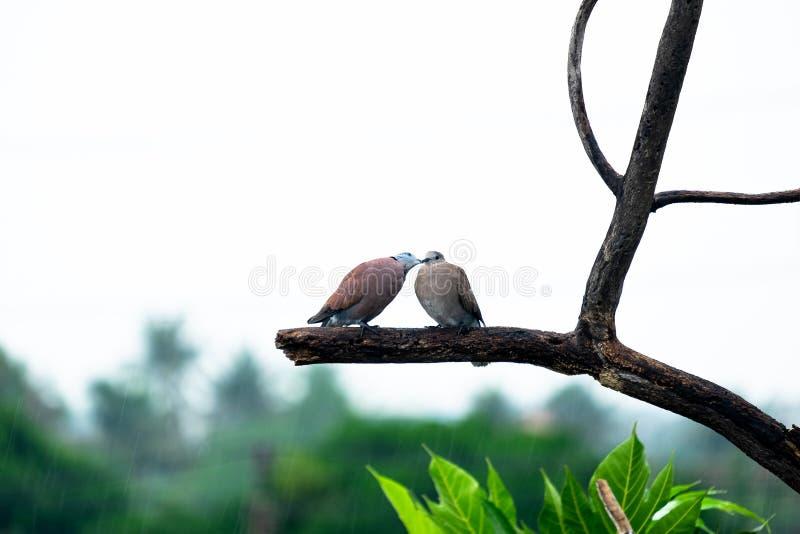 Appareillez des oiseaux de couples salut sur la branche d'arbre sous la pluie de chute image libre de droits