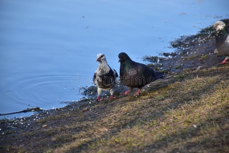 Appareillez des pigeons - nouveaux mariés images stock