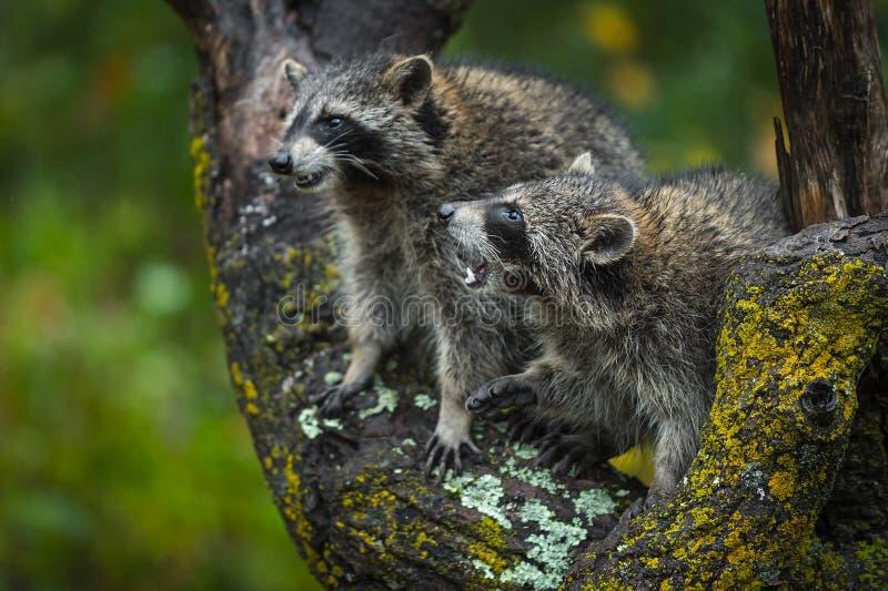 Appareillez du conflit de lotor de Procyon de ratons laveurs en automne d'arbre images stock