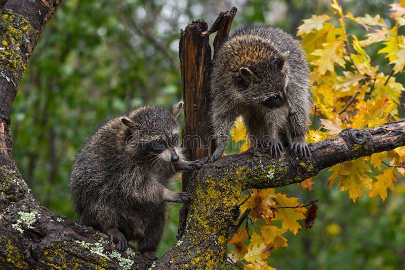 Appareillez du lotor de Procyon de ratons laveurs en automne d'arbre image stock