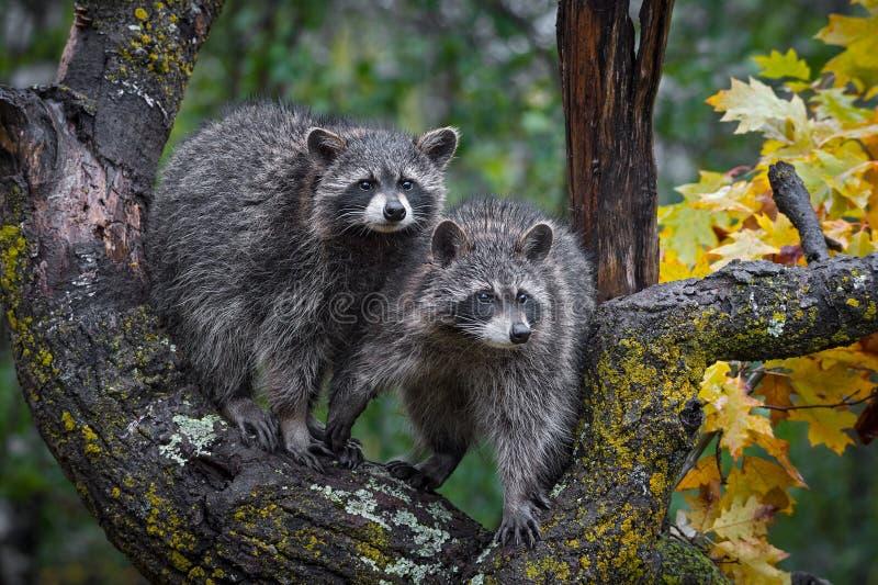 Appareillez du support de lotor de Procyon de ratons laveurs en automne d'arbre image stock