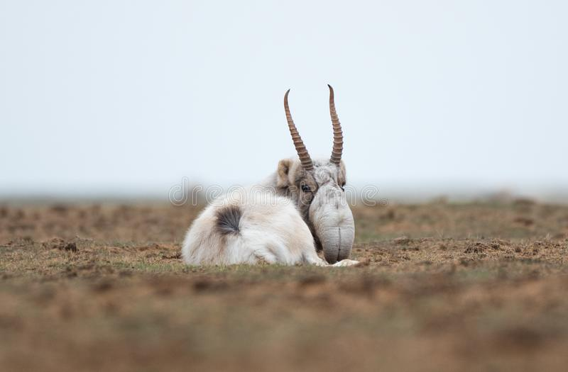 The appearance of a powerful male during the rut. Saiga tatarica is listed in the Red Book. Chyornye Zemli Black Lands Nature Reserve, Kalmykia region, Russia royalty free stock photos
