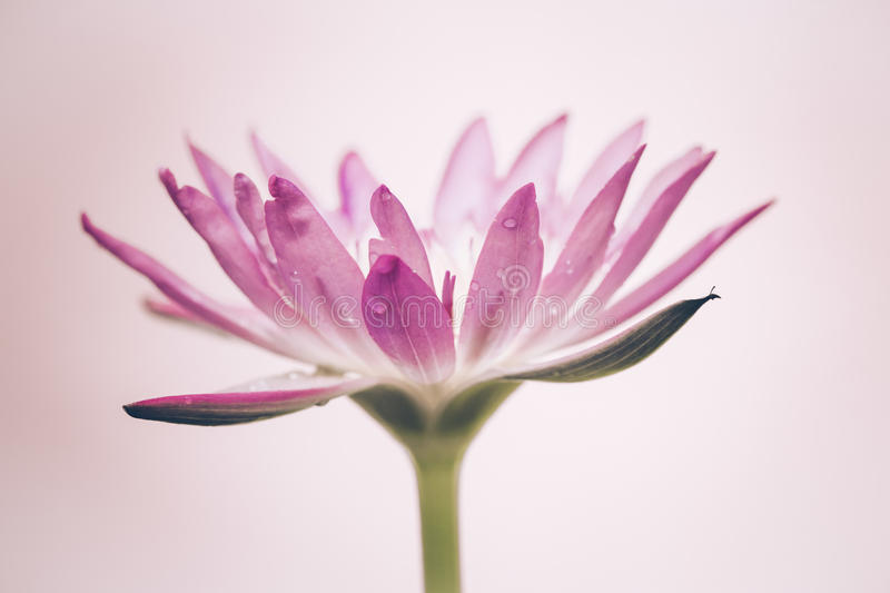 The Appearance Of A Purple Lotus Flower Is A Beautiful Stock Photo