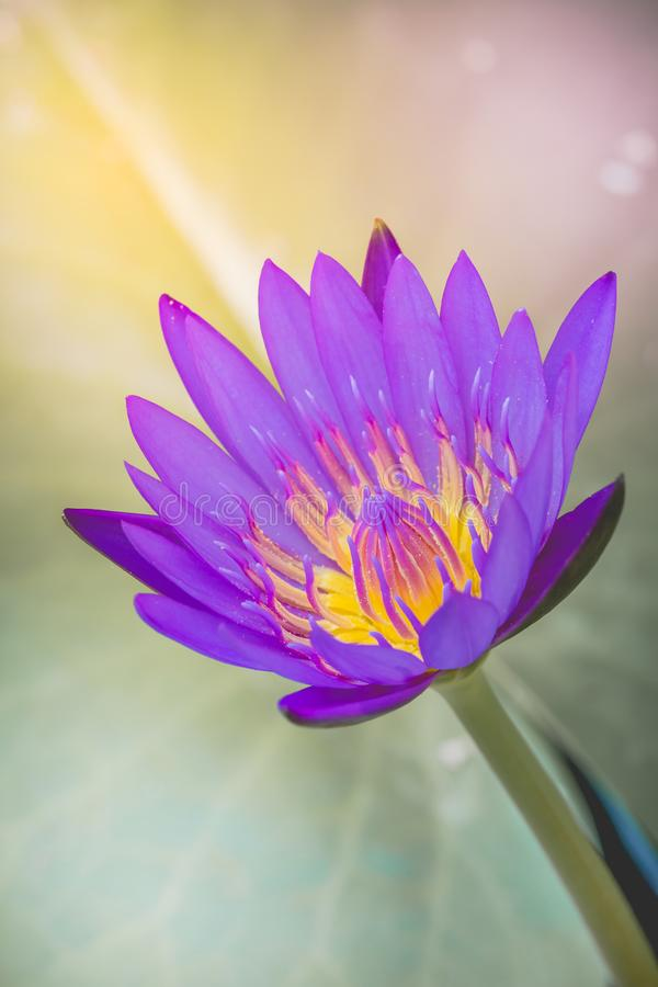 The appearance of a purple lotus flower is a beautiful stock photo download the appearance of a purple lotus flower is a beautiful stock photo image of mightylinksfo