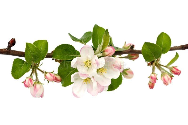 Appel-boom tak. stock afbeeldingen
