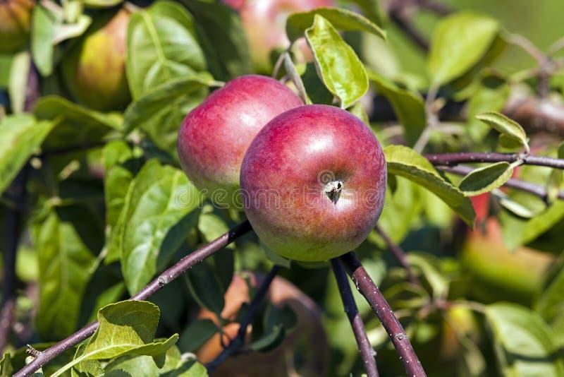 Appel-boom tuin royalty-vrije stock foto's