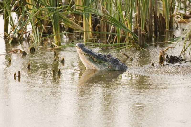 Appel de accouplement d'alligator photographie stock libre de droits